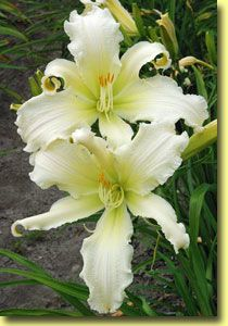 "Daylily Heavenly Angel Ice (photo courtesy Walters Garden) spider-form,HUMUNGOUS 8"" ruffled, VERY distinctive blooms of pale icy white with green throats---she's both an extended AND repeat bloomer!"