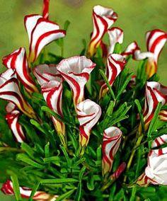 Oxalis Versicolour - bulbs flowering Apr-May