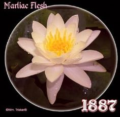 Marliac Flesh Live Aquatic Plant *** Be sure to check out this awesome product.