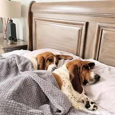 Contrary to popular belief, letting your dog sleep with you in your bed has nothing dirty or unhealthy. Yes, there are a lot of upsides to letting your Beagle, Basset Puppies, Bloodhound Dogs, Basset Hound Dog, Baby Puppies, Dogs And Puppies, I Love Dogs, Cute Dogs, Sleeping Dogs