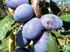 JOJO Eggplant, Blueberry, Fruit, Vegetables, Food, Berry, Essen, Eggplants, Vegetable Recipes