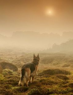 Beautiful setting with a GSD