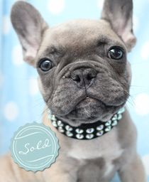 French Bulldog Frenchie Puppy For Sale