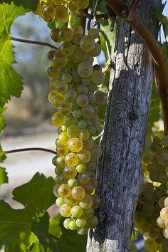 Vineyard .. Tuscany