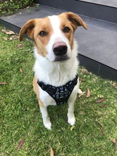 Life changing dog walking with a Wolf & I Co. reflective no-pull dog harness. Shop dog harnesses online now! Dog Harness, Dog Walking, Border Collie, Corgi, Animals, Animales, Animaux, Corgis, Animal