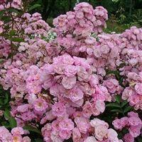 Heavenly Pink (LENnedi)