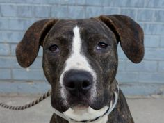 GONE - BE AT PEACE 11/15/13 Brklyn Ctr P JADA #A0983557 BRWN & WHT BRINDLE  PIT BULL MIX  STRAY 10/29/13 - THIS IS JUST A BABY @ 1 YR !!!Jada has a long brindle body & is bursting w/ affection! Loves to be w/ people. Seems friendly w/ dogs, & sits on command. Jada often looks serious, but her wagging  tail & cuddly ways better reflect her nature.  Did great on behavior exam, excited meeting helper dog (would benefit from doggy socializing). Come check out this sweet girl, you'll be glad you…