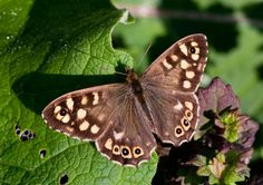 Butterfly Conservation is a British charity devoted to saving butterflies, moths and their habitats throughout the UK. Wood Butterfly, Butterfly Images, Butterfly Exhibit, Butterflies Flying, Beautiful Butterflies, Devon Coast, Small Pools, All Things Cute, Tree Tops