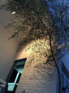 Bambu Mossô  ( Phyllostachys pubescens) 3,8 metros sobre parede de brick areia
