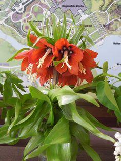 The French Tangerine: ~ Chicago Botanic Garden Unique Flowers, All Flowers, Beautiful Flowers, Chicago Botanic Garden, Invasive Plants, Tiny Treasures, Garden Pool, Botanical Gardens, Agriculture