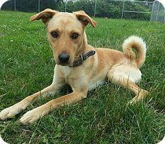 Lisbon, OH - Shiba Inu Mix. Meet Rambo SPONSORED, a dog for adoption. http://www.adoptapet.com/pet/11020193-lisbon-ohio-shiba-inu-mix