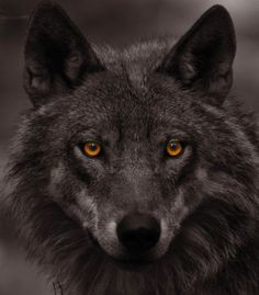 Gorgeous amber eyes - wow