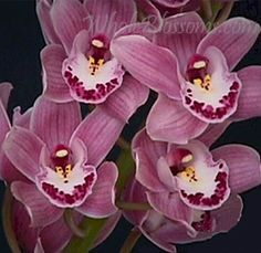 Mini Cymbidium orchids are smaller versions of the standard cymbidium orchids and larger than dendrobium orchids. Blooms measure 2.5-3.0 inches with 8-12 blooms included per stem. Each stem extends from 16-20 inches in length.