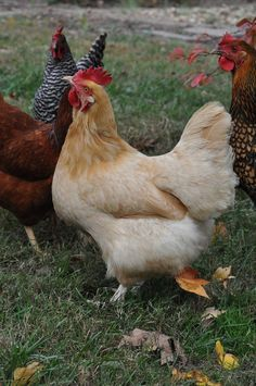 Buff Orpington chickens...I hope to get one of these