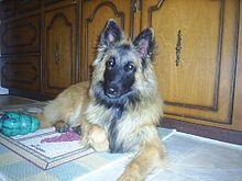 Belgian Shepherd Dog (Tervuren) - Wikipedia, the free encyclopedia