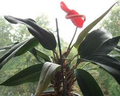 Flamingo Flower and Painter's Palette are two Anthurium species that are grown as houseplants. Dark green leaves and long lasting flowers, usually in red, combined with its exotic looking appearance result in an attractive indoor plant Anthurium Care, Flamingo Flower, Flower Close Up, Fertilizer For Plants, House Plant Care, Beautiful Butterflies, Houseplants, Indoor Plants, Flowers