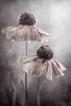 I just love this photo. It is the perfect blends of both grays and taupes with dusty rose. May try this look on one wall in master bedroom. Art Floral, Creation Art, Gris Rose, Dusty Rose, Pink Grey, Flower Art, Mauve, Flower Power, Beautiful Flowers