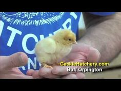 Buff Orpington Chicken Breed | Buff Orpington Standard Eggs and Chicks | Cackle Hatchery