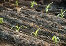 How to Plant Sprouted Corn