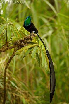 Aves-do-paraíso: conheça algumas das criaturas mais exóticas do planeta - Mega Curioso