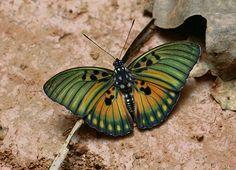 Euphaedra edwardsi, Bobiri forest, Ghana