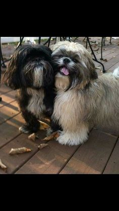 Everything About Fun Shih Tzu Health Baby Shih Tzu, Shih Tzu Puppy, Shih Tzus, Shih Poo, Teacup Puppies, Cute Puppies, Cute Dogs, Dogs And Puppies, Doggies