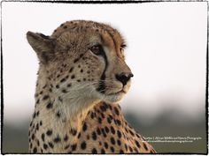 The Cheetah (Acinonyx jubatus) my favourite of the big cats. Kruger National Park, National Parks, Big Cats, Cheetah, Wildlife, Africa, Animals, Animales, Animaux