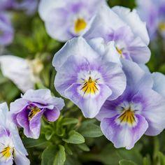 Stiefmütterchen in lila und violett, gefunden im Schlosspark des Tierpark Herberstein, Steiermark (Österreich)