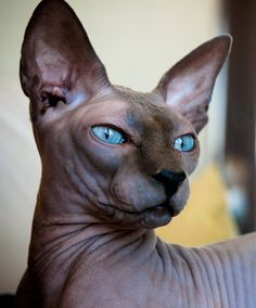 Sphynx Hairless Cat Breed Information and Photos The Sphynx cat is a breed of cat known for its lack of coat (fur). The Sphynx was developed through Sphynx Gato, Chat Sphynx, Hairless Cats, Sphynx Cat Black, Pretty Cats, Beautiful Cats, Animals Beautiful, Cute Animals, Pretty Kitty