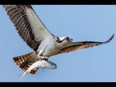 How to Photograph Flying Birds: shutter speed, aperture, focus mode, exp...