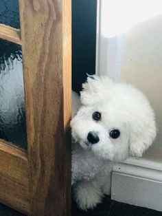 Bichon Dog, Bichon Frise, Bichons, Cute Dogs And Puppies, Cool Art Drawings, Dog Portraits, Maltese, Poodle, Cute Pictures