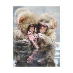 Two cute little monkeys grooming. Photograph - liitle monkeys - by Marcosjra and Patypatyapaty Nature Animals, Animals And Pets, Baby Animals, Funny Animals, Cute Animals, Primates, Mammals, Monkeys In Hot Springs, Beautiful Creatures