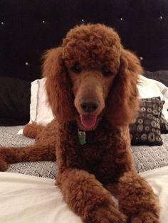 """Bedtime poodle"" - Griffin"