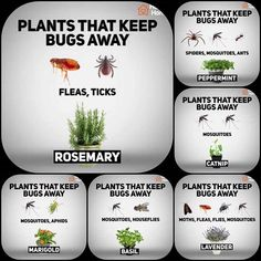 41 fragrant plants that repel mosquitoes 11 ~ vidur net Garden pests, Plants, Garden yard ideas, Bac Garden Yard Ideas, Lawn And Garden, Garden Projects, Garden Landscaping, South Texas Landscaping, Garden Ideas For Small Spaces, Small Deck Decorating Ideas, Arborvitae Landscaping, Indoor Water Garden