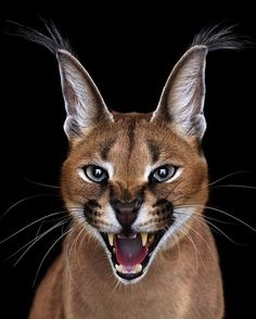 Photographer Brad Wilson goes up close and personal with some of the most gorgeous — and deadly — creatures in the world. Animals And Pets, Baby Animals, Funny Animals, Cute Animals, Caracal Caracal, Serval, Beautiful Cats, Animals Beautiful, Big Cats