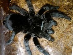 Caranguejeira spider