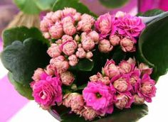 Our house plants ourhouseplants on pinterest kalanchoe blossfeldiana or the flaming katy widows thrill is an easy indoor house plant with many colourful small flowers that last for a long time mightylinksfo