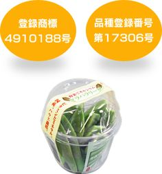 グラパラリーフなどの新顔野菜|アグリアシストジャパン