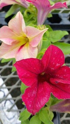 Petunia Crazytunia Mandevilla by JacksGarden07