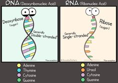 DNA vs RNA Poster' Poster by amoebasisters is part of Science Notes Dna - Millions of unique designs by independent artists Find your thing Biology Memes, Biology Lessons, Ap Biology, Science Biology, Teaching Biology, Science Education, Life Science, Biology Poster, Biology Teacher