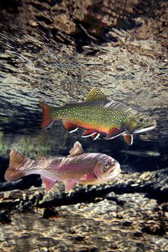 Rainbow and Brook Trout, Williamson River, Oregon Trout Fishing Tips, Fishing Lures, Saltwater Fishing, Fishing Canoe, Canoe Boat, Fishing Rods, Fishing Tricks, Walleye Fishing, Fishing Stuff
