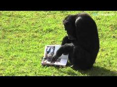 """Chimpanzee reading car-magazine"""