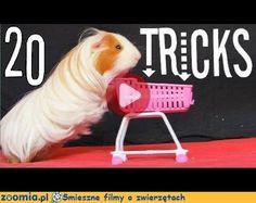 Film o sprytnych świnkach « Inne zwierzęta « Śmieszne filmy o zwierzętach - śmieszne koty, śmieszne psy. Zoomia.pl :: Zoomia pl