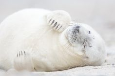 Little Grey Seal - Junge Kegelrobbe by Corinna Leonbacher on 500px