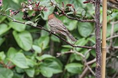 This is the third of three images featuring a male house finch who made the month of April a little less cruel. Info @ http://www.thelastleafgardener.com/2016/04/april-is-cruelest-month.html#more