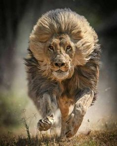 Lion - King of the jungle Fast Crazy Nature Deals. Lion Images, Lion Pictures, Animal Pictures, Nature Animals, Animals And Pets, Baby Animals, Cute Animals, Fierce Animals, Animals Planet