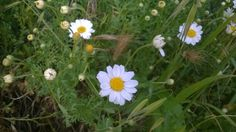 #nature #flowers #Daisies