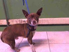 OSCAR  Dog • Chihuahua • Adult • Male • Small  L.A. County Animal Care Control: Carson Shelter Gardena, CA