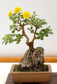 Bonsái│Árboles - #Trees - #Bonsai