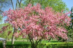 I must have a Prairie Rose Flowering Crab tree in my yard!